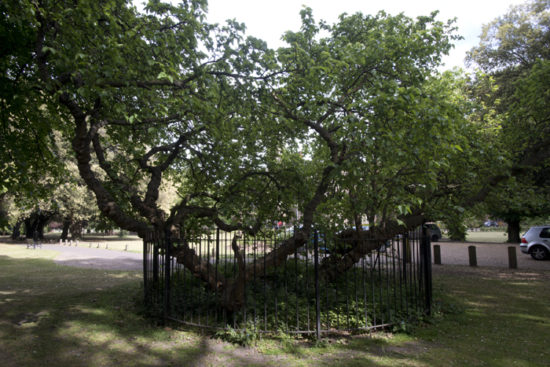 A mulberry tree believed to have been planted at the behest of James I.